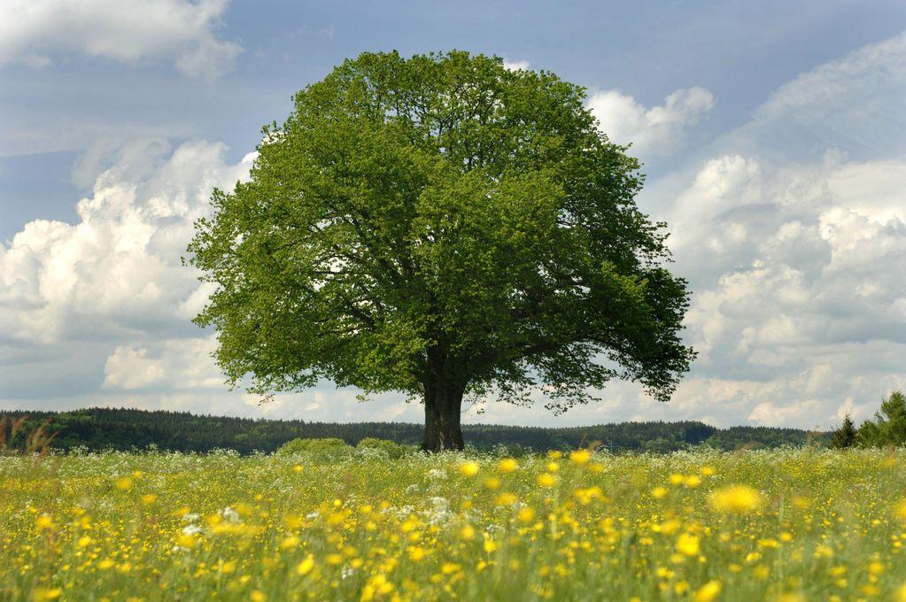 Nos alliés les arbres :